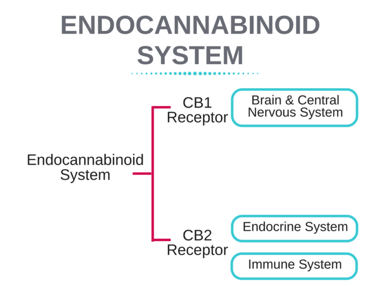 Endocannabinoid-System-768x644.png