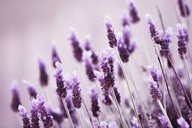Lavender grows well in Perth, and attracts bees too.