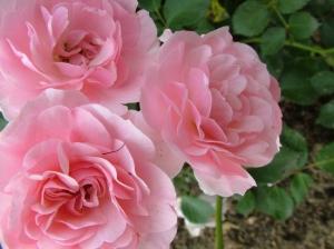 rose-flower-14_0.jpg
