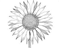 best-15-sunflower-outline-clipart-kid-file-free.jpg