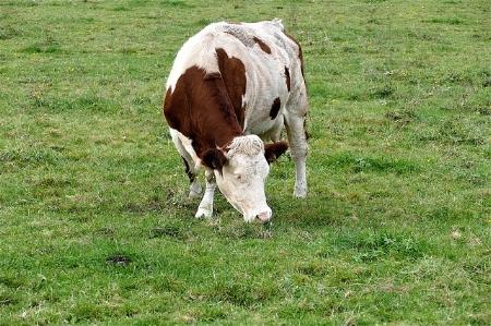cow-2897589_640.jpg