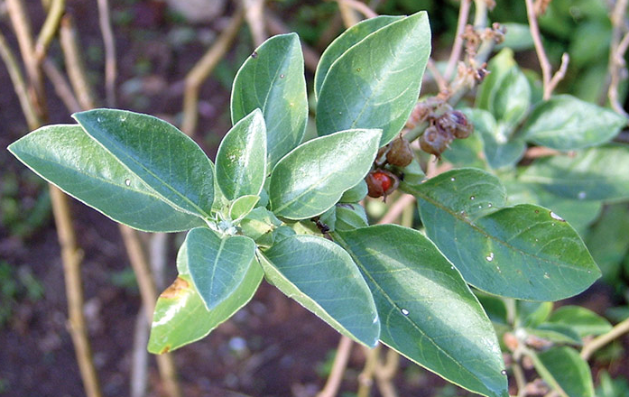 Ashwagandha- the root is used