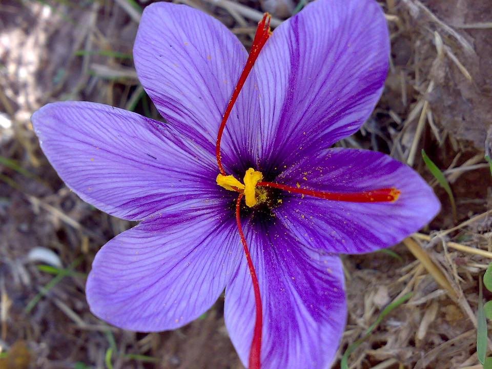 Saffron stamens are the part used for both cooking and medicine