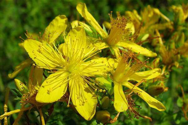 St John's Wort, or as one herbalist calls it, St Joan's Wort.