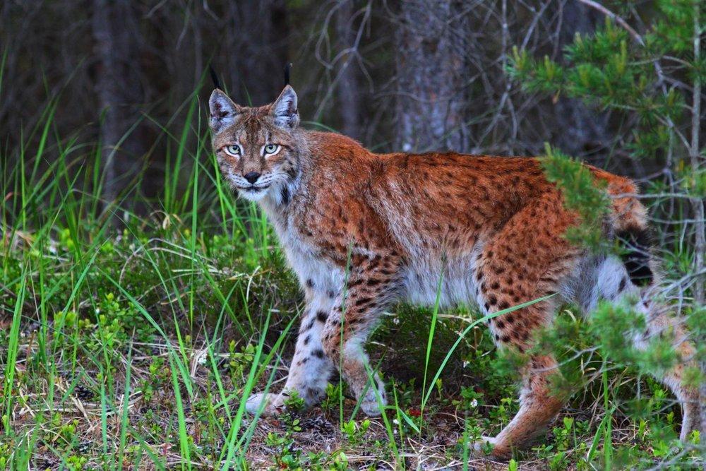 Lūsis  Lynx lynx  foto:Vilinis Skuja