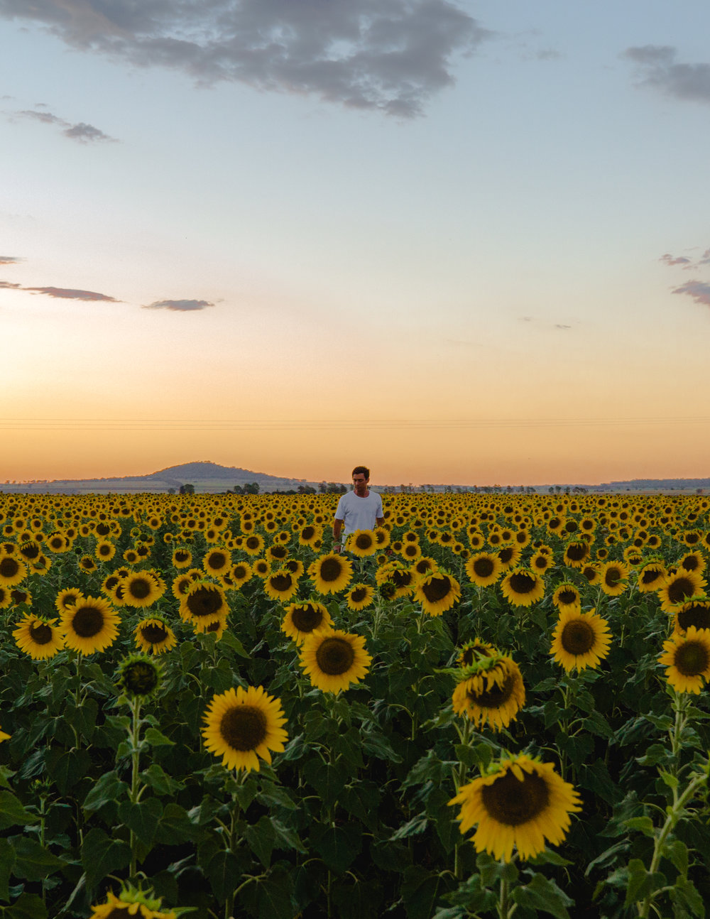 The Sunflowers at Sunset