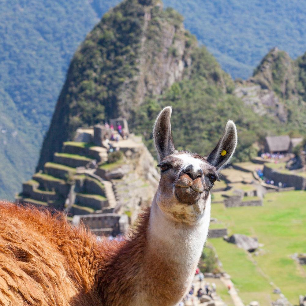 Llama_SQUARE.jpg