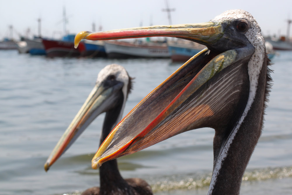 Pelicans_Two_Mouth_open_paracas.jpg