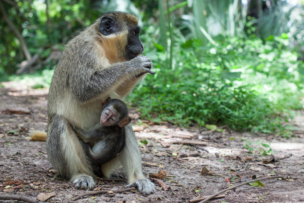 Monkey Mother & Baby, Africa.