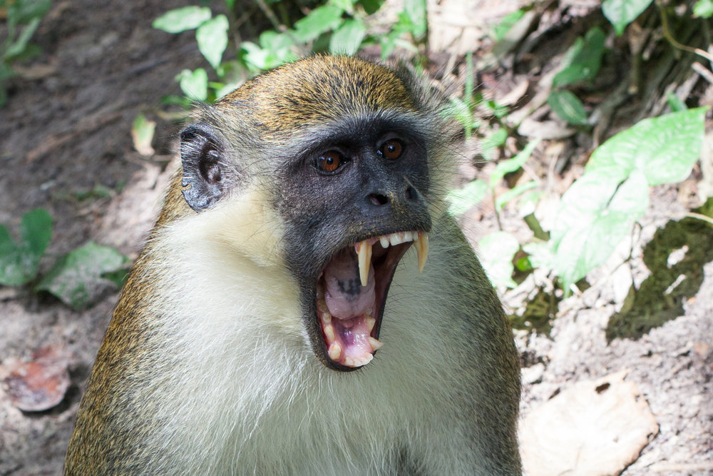 A yawning monkey in West Africa.