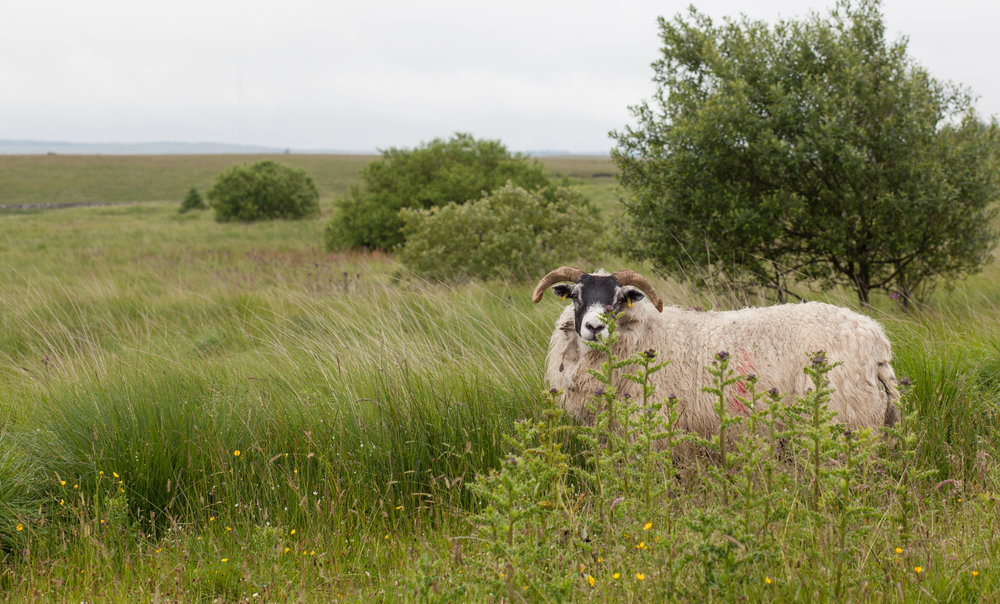 A horned sheep poses for the camera in England.