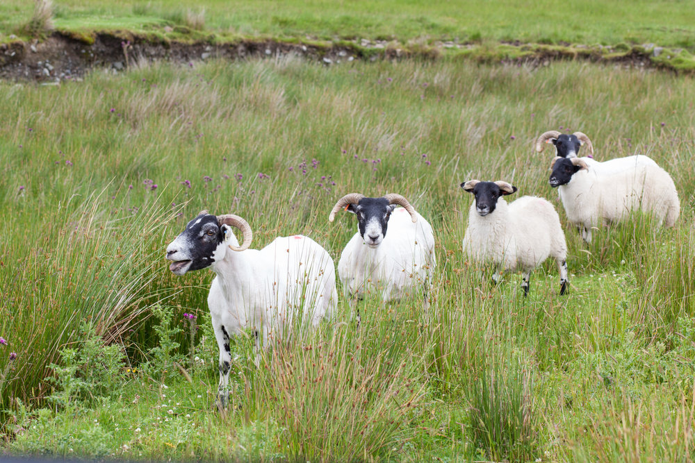 Four sheep in a field in Scotland.