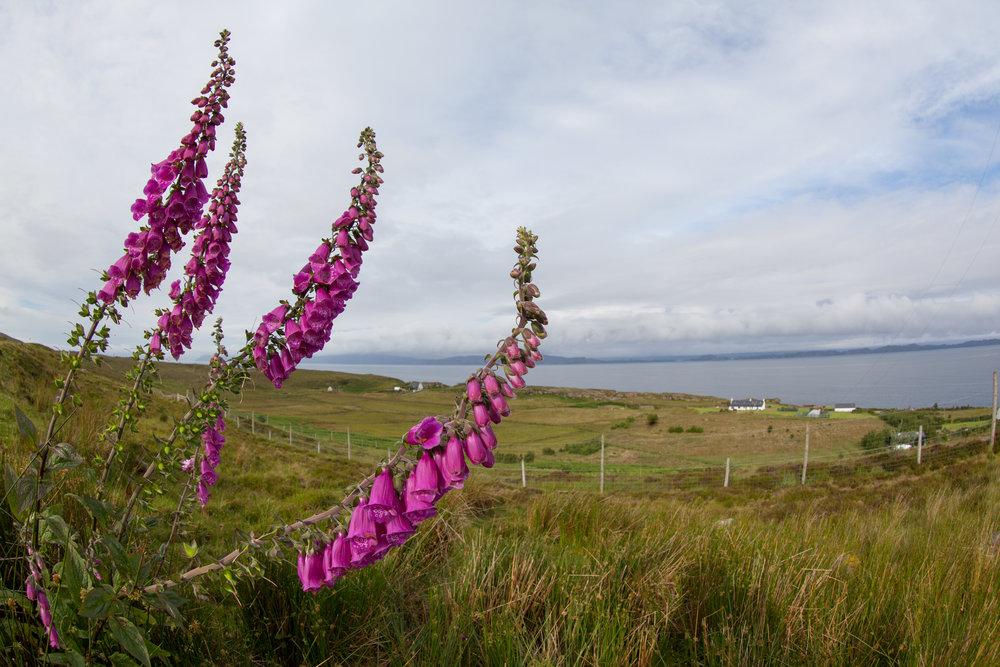 Wild Foxglove flowers.
