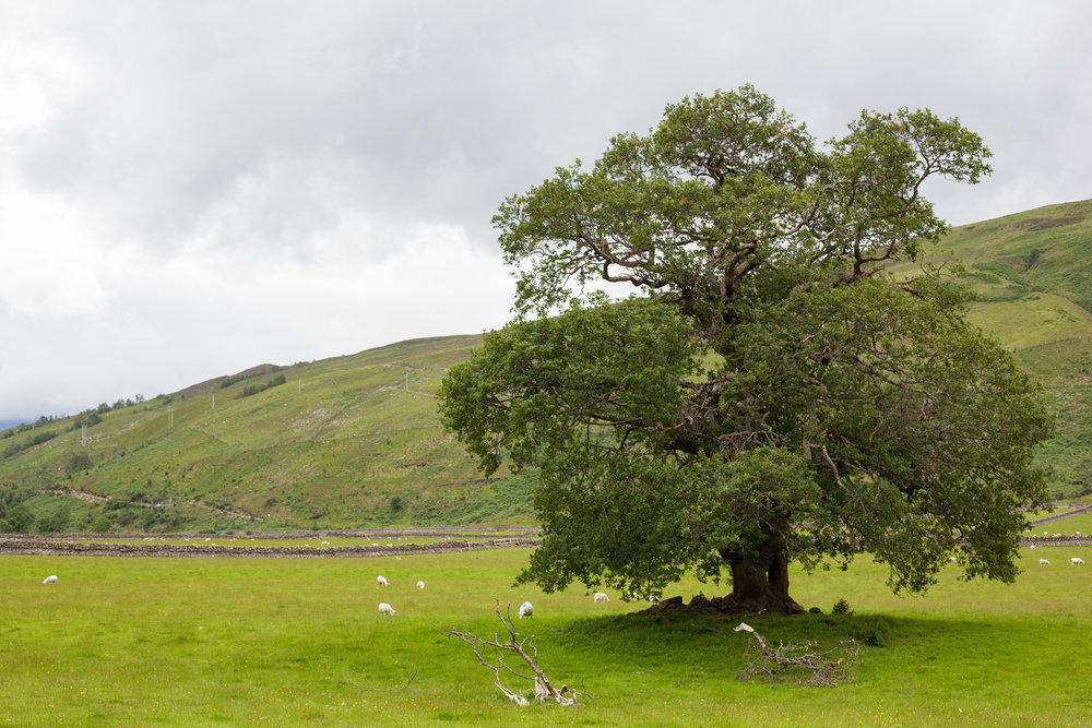 A big tree in a field in the UK.