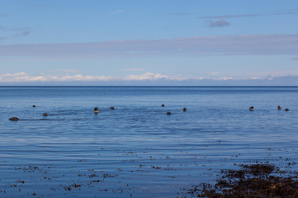 Seals off the coastline of Scotland.