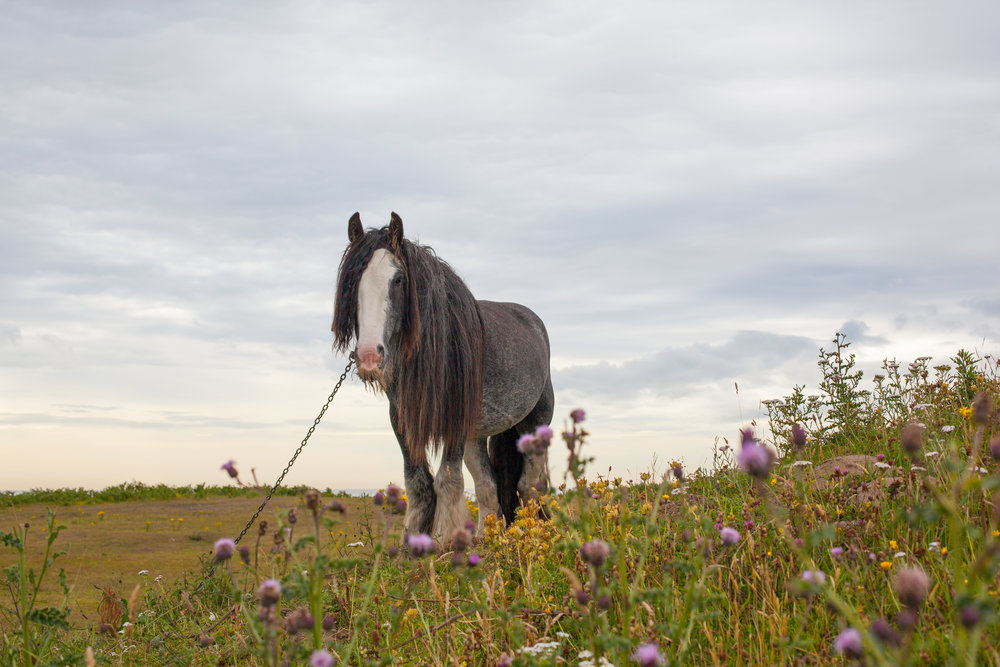 A gypsy horse tethered in a field.