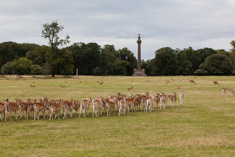 Deer in a field in England.
