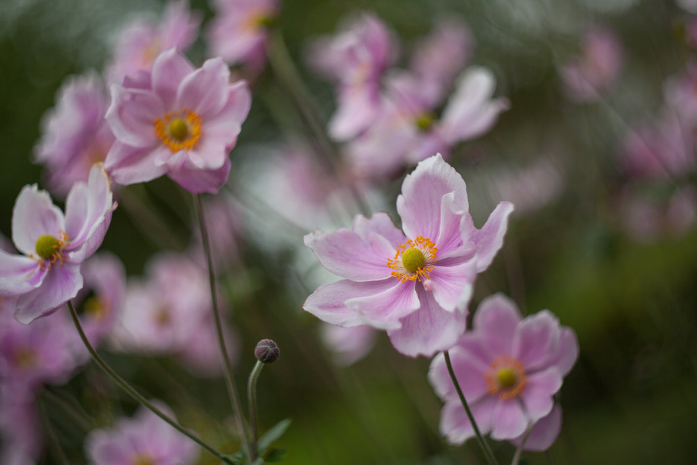 Beautiful wild pink flowers.