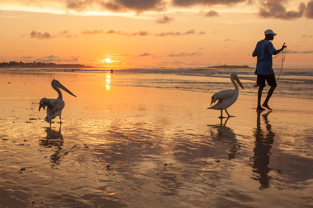 A fisherman feeds his pet pelicans some fish at sunset in Dakar, Senegal, West Africa..