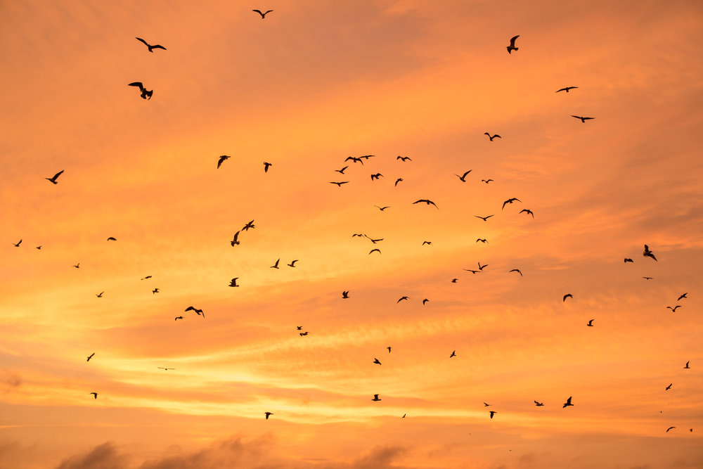 High Flying Bird, birds taking flight at sunset in Chorillos, Peru.