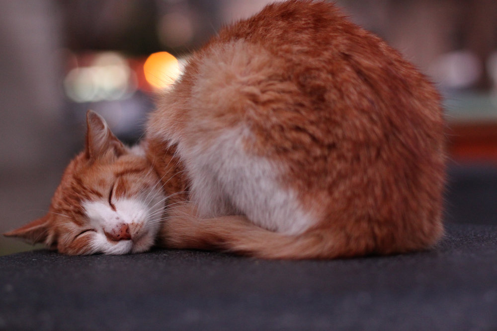 A cute cat snoozing in Parque Kennedy in Lima.
