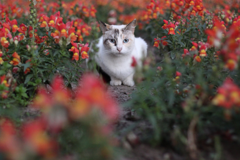 A cat amongst the flowers in Kennedy Park in Miraflores, Lima.