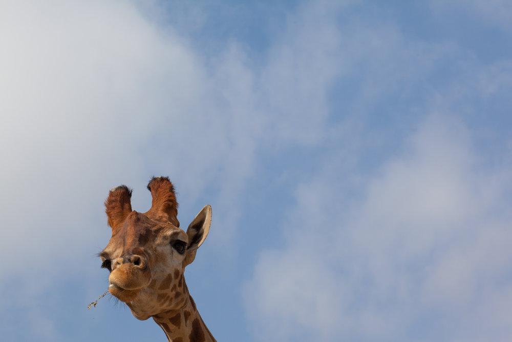 Negative space adds an element of humour to this photo of a giraffe.