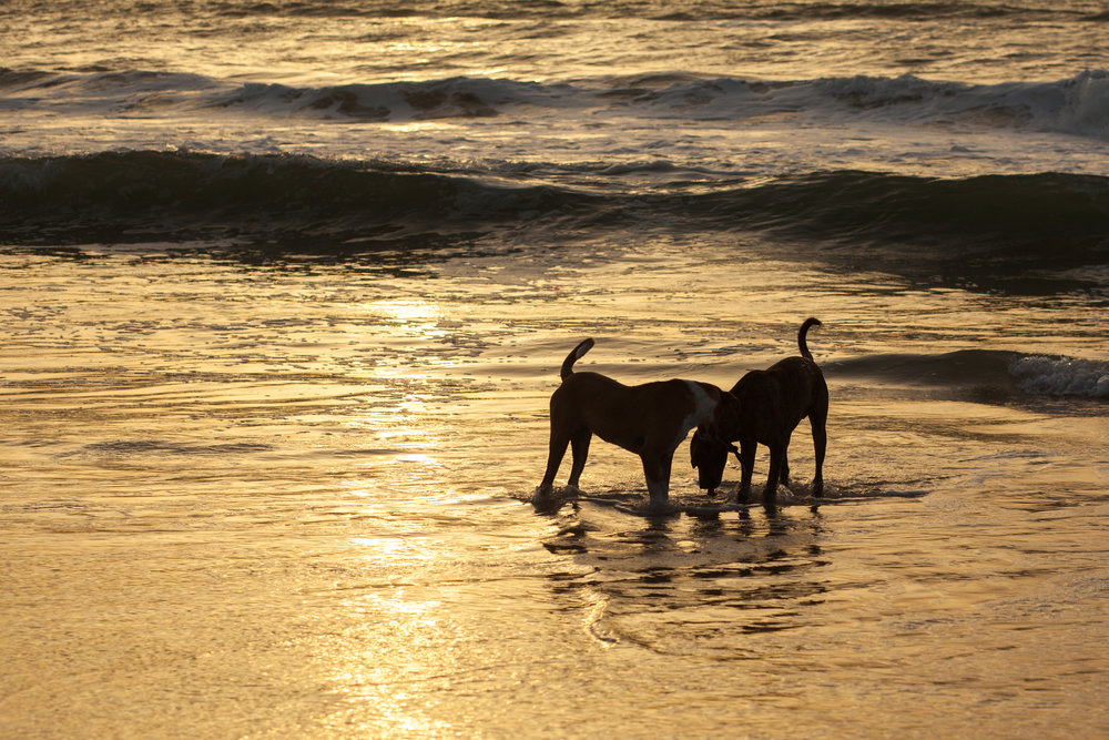 Two dogs playing in the ocean at sunset in Lompoul in Senegal.