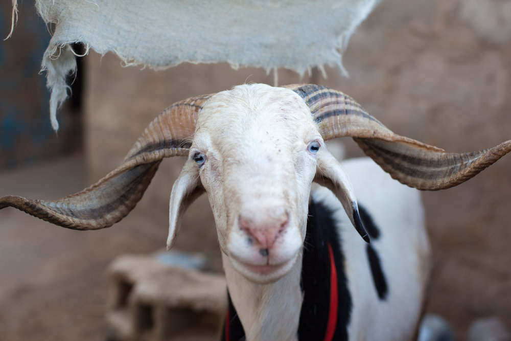 Sheep portrait in Dakar, Senegal.