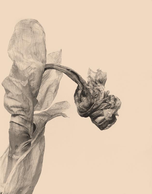 joyceseymore-solarized_botanicals-Iris_3.jpg