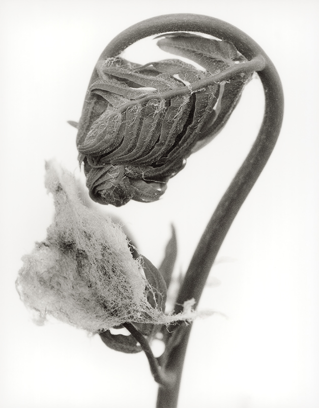 joyceseymore-solarized_botanicals-Osmunda_regalis_5.jpg