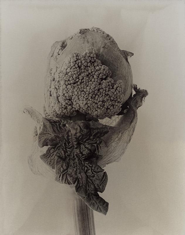 joyceseymore-solarized_botanicals-Rhubarb_2.jpg
