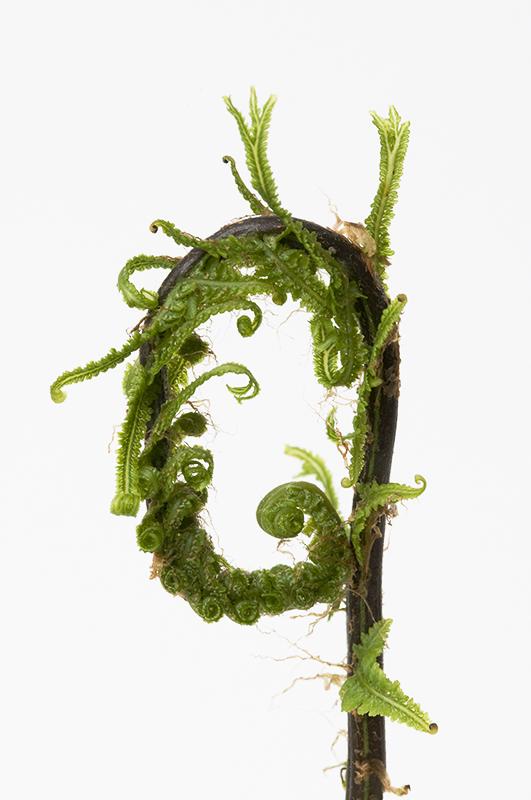 Athyrium filix-femina Victoriae 3