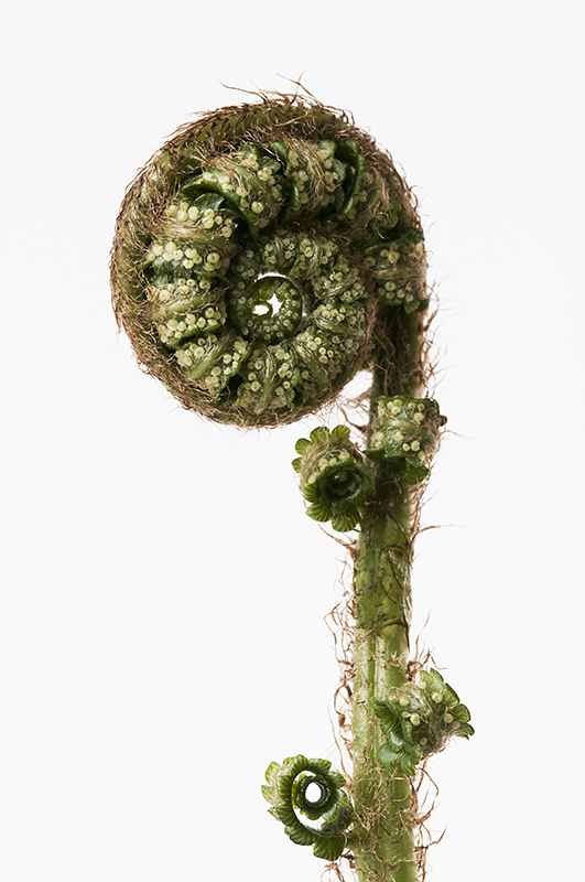 Dryopteris cycadina 1
