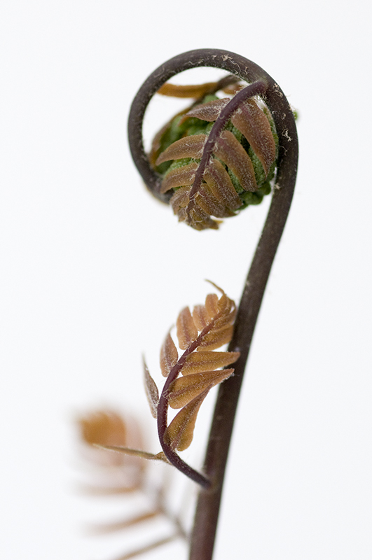 Osmunda regalis Purpurascens 1