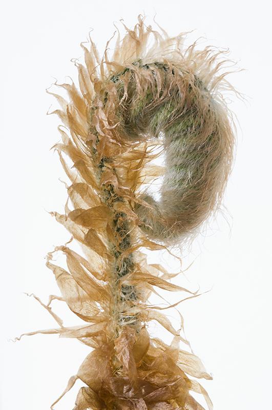 Polystichum polyblepharum