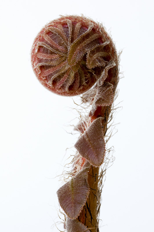 Red Leaf Tree Fern 5