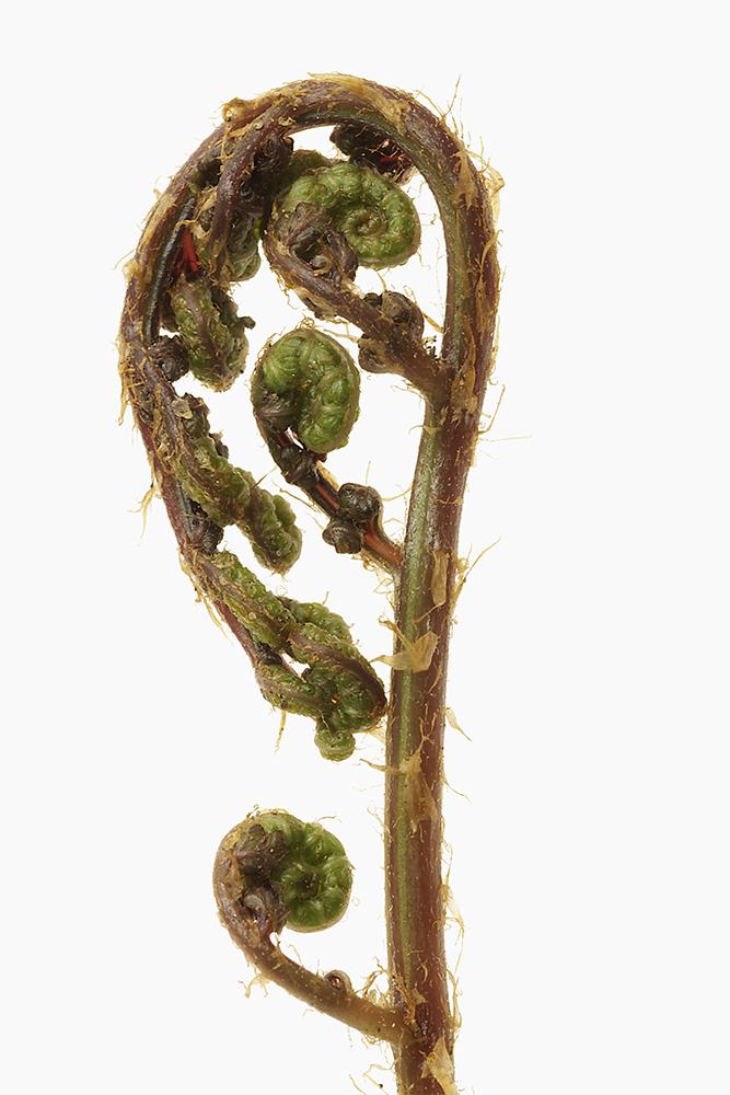 Athyrium niponicum  'Apple Court'.jpg