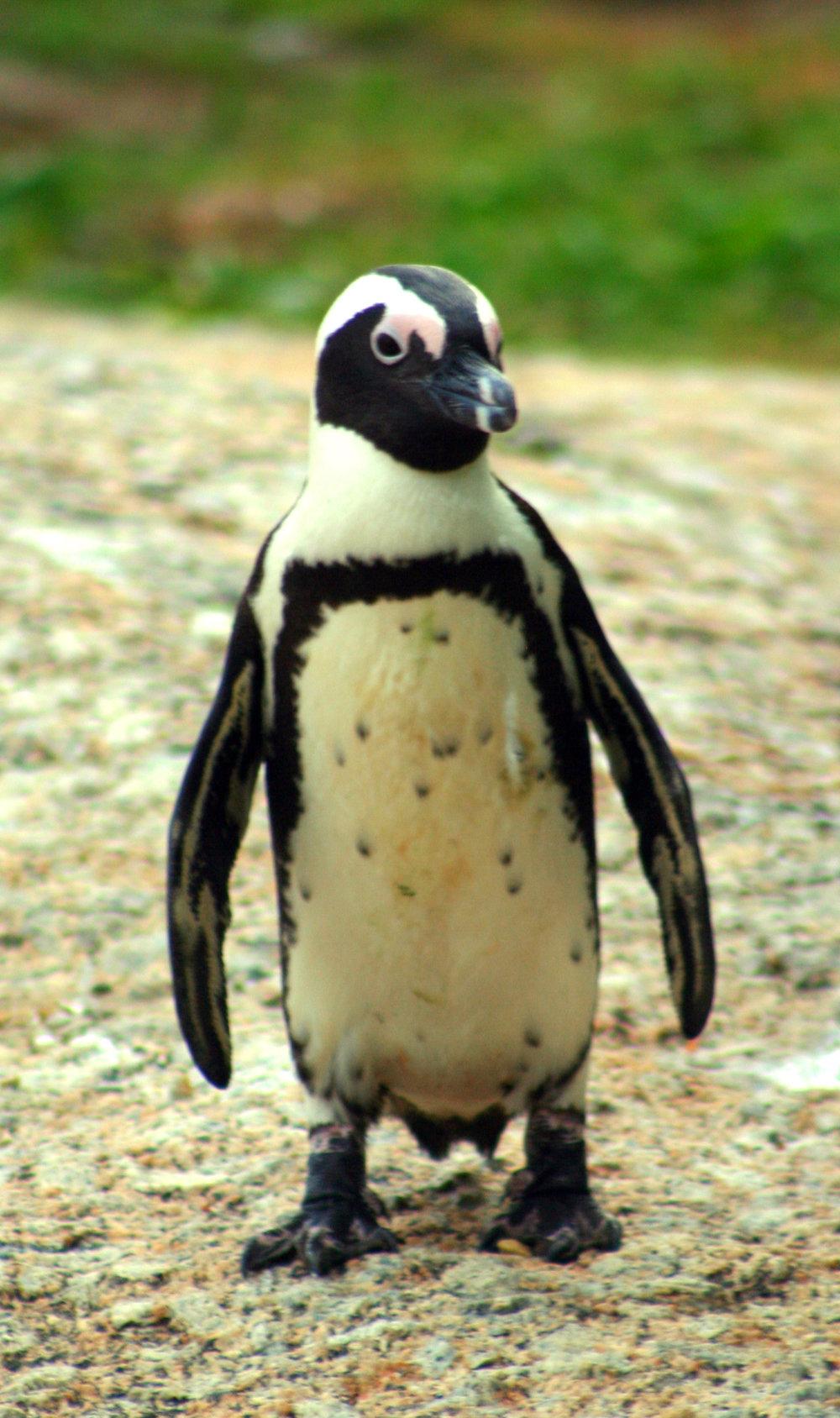 A penguin in its natural habitat at Boulder's Beach.