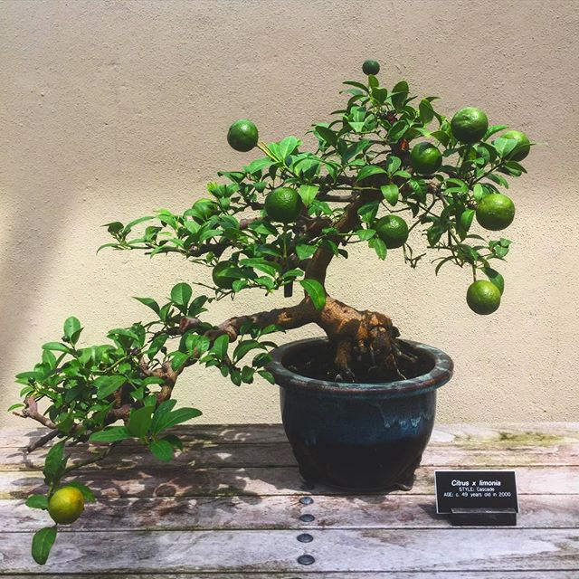 Chilled out Tuesday afternoons are all about eating oysters with friends and drinking daiquiris made from this 66 year old bonsai citrus tree #sevenstarlyfestyle