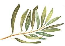 olive.png