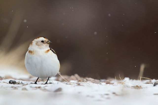 Snow buntings have quickly become one of my favourite little bird species after spending some hours with them in the snow last year. They are just so full of character!