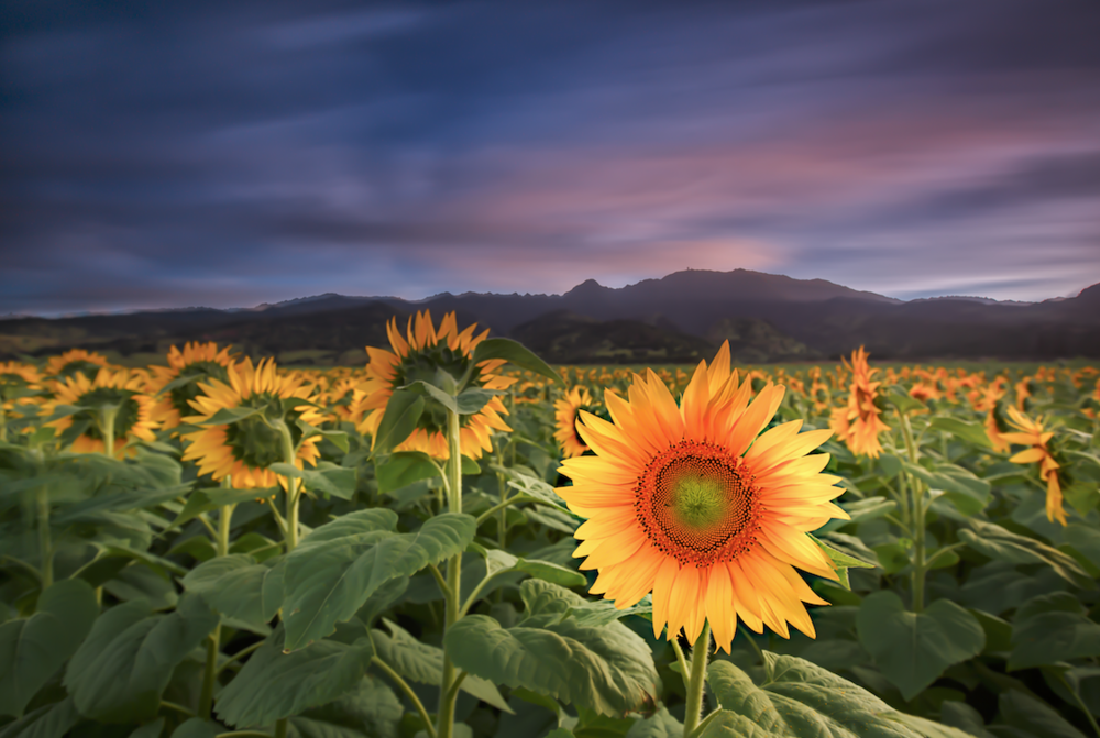One of a kind - Du pont Pioneer Sunflower Farm - North Shore, Oahu, Hawaii - Ketino Landscape Photography.png