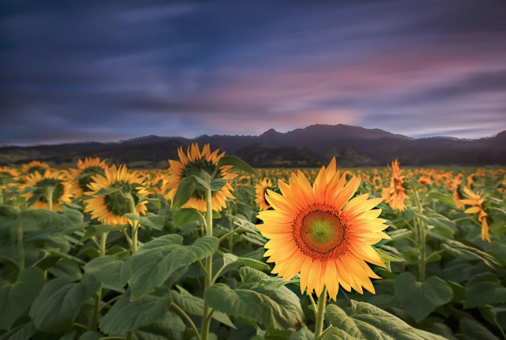 One of a kind - Du pont Pioneer Sunflower Farm - North Shore, Oahu, Hawaii - Ketino Landscape Photography.png