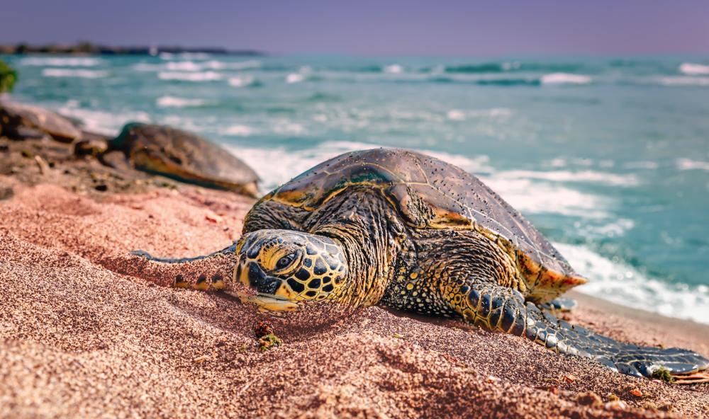 Turtle on the beach - Kona, Big Island, Hawaii - Ketino Landscape Photography.png