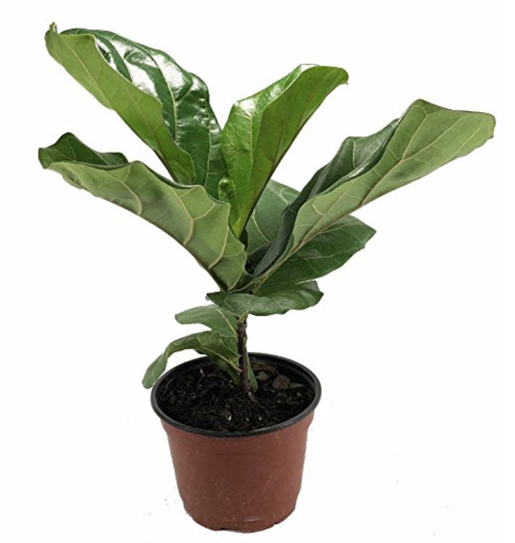 Baby Fiddle Leaf Fig from Amazon.com