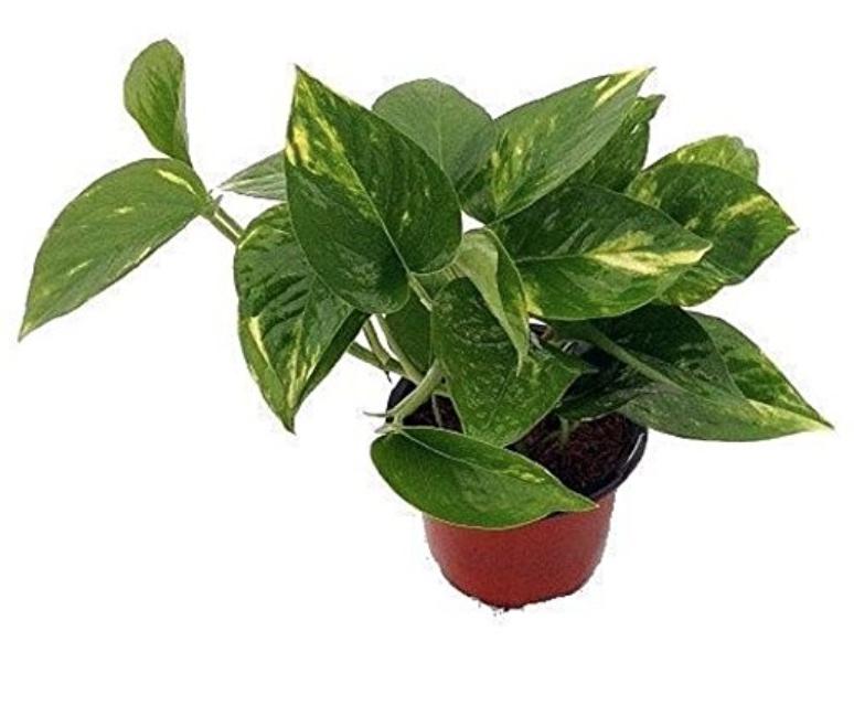 Devil's golden ivy pothos plant
