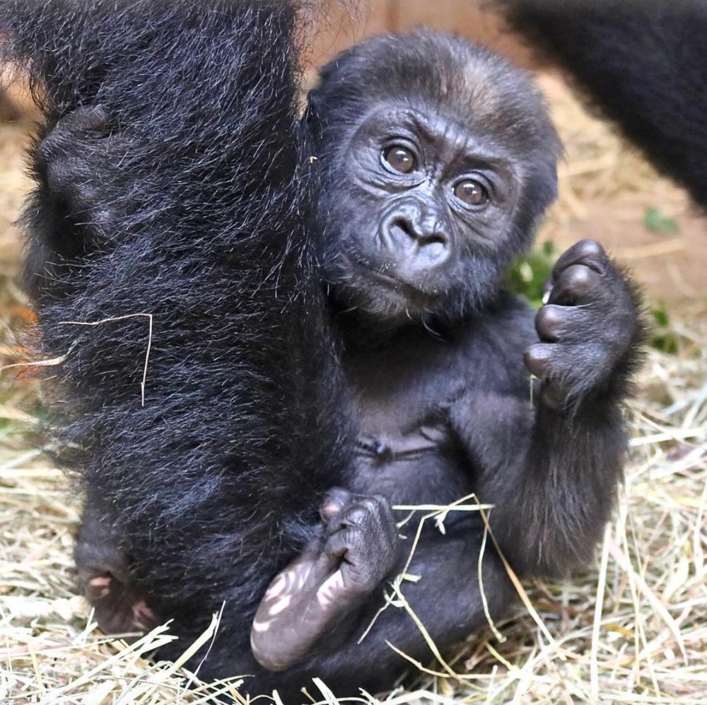 Gray Oak Studio Smithsonian Zoo Western Lowland Gorilla