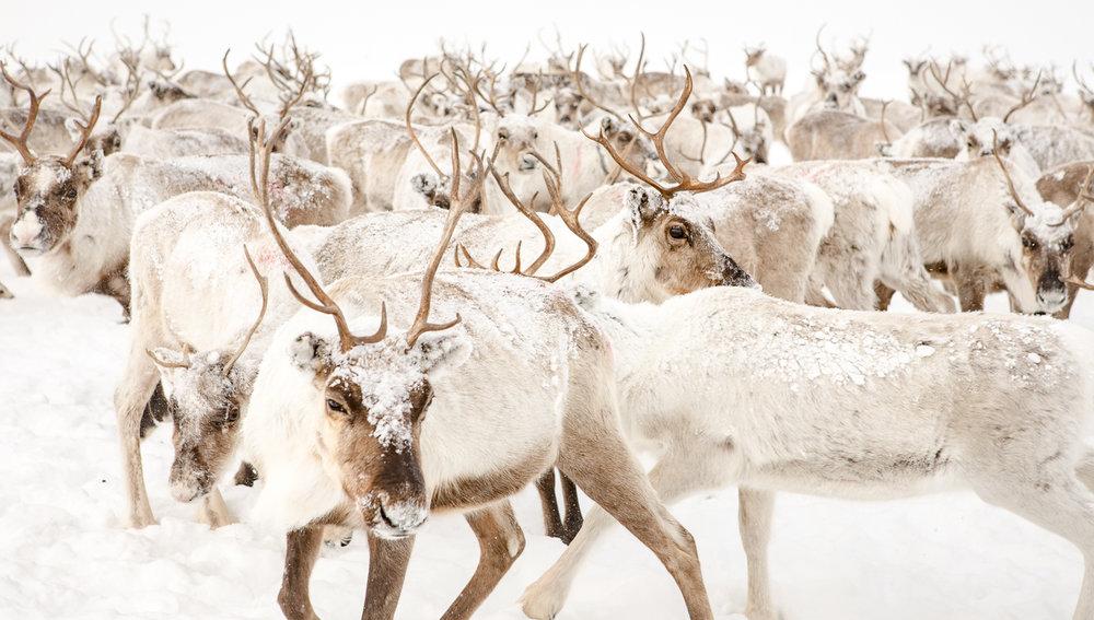 arctic_animals_natural_habitat.jpg