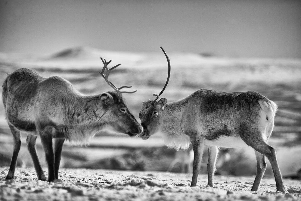 Reindeer_portrait-2 (1).jpg